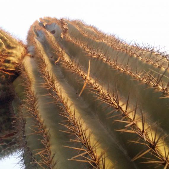 Arizona Saguaro cactus